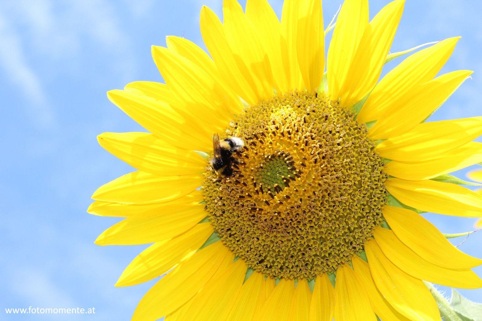 Erdhummel auf Sonnenblume vor blauem Himmel - Erdhummel auf Sonnenblume vor blauem Himmel