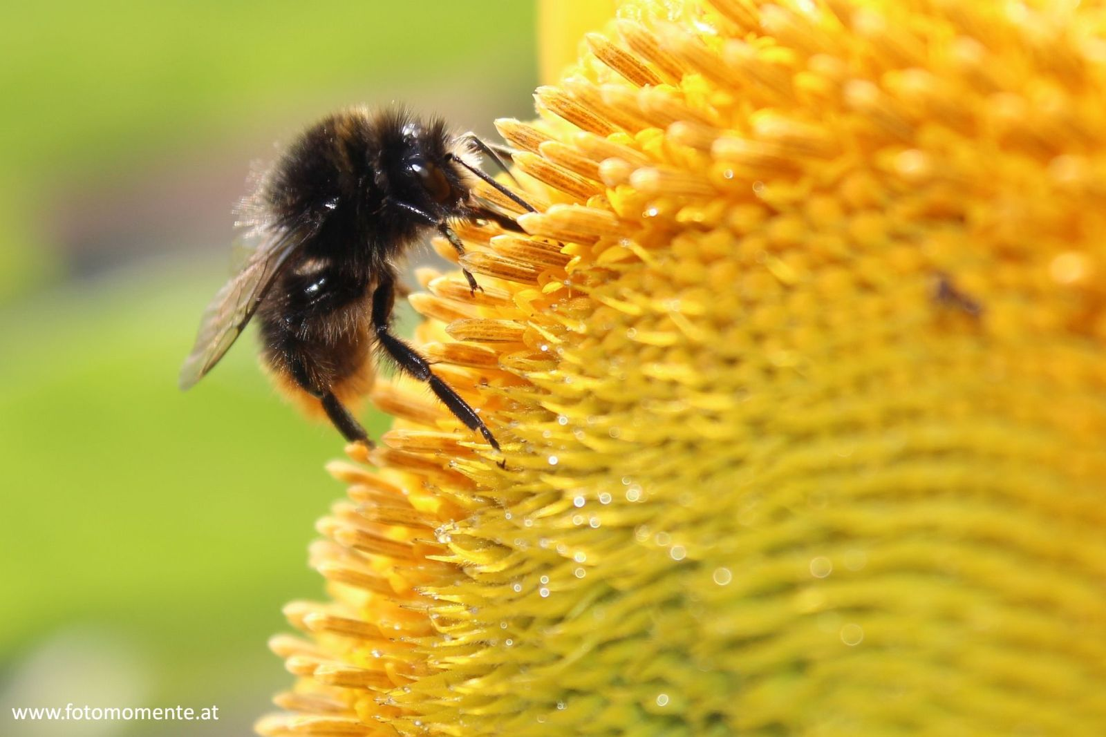 Erdhummel auf Sonnenblume - Erdhummel auf Sonnenblume