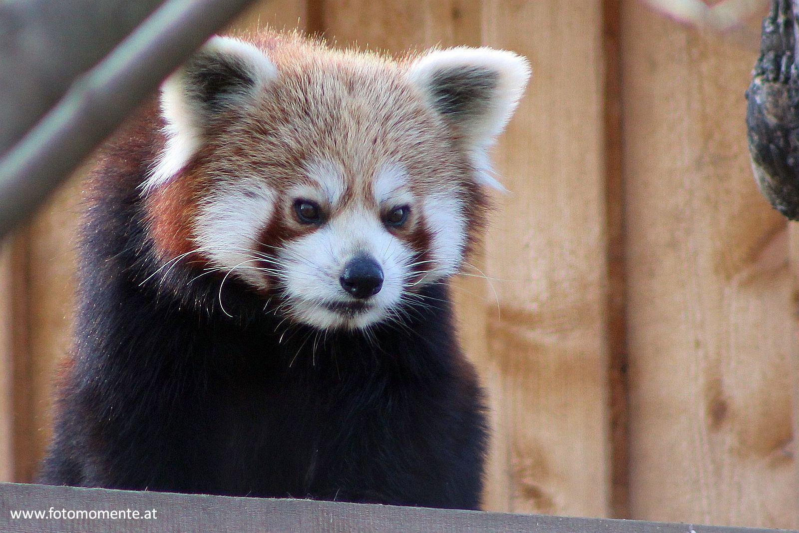 Kleiner Panda roter Panda katzenbaer feuerfuchs - Kleiner Panda auch roter Panda, Katzenbär oder Feuerfuchs