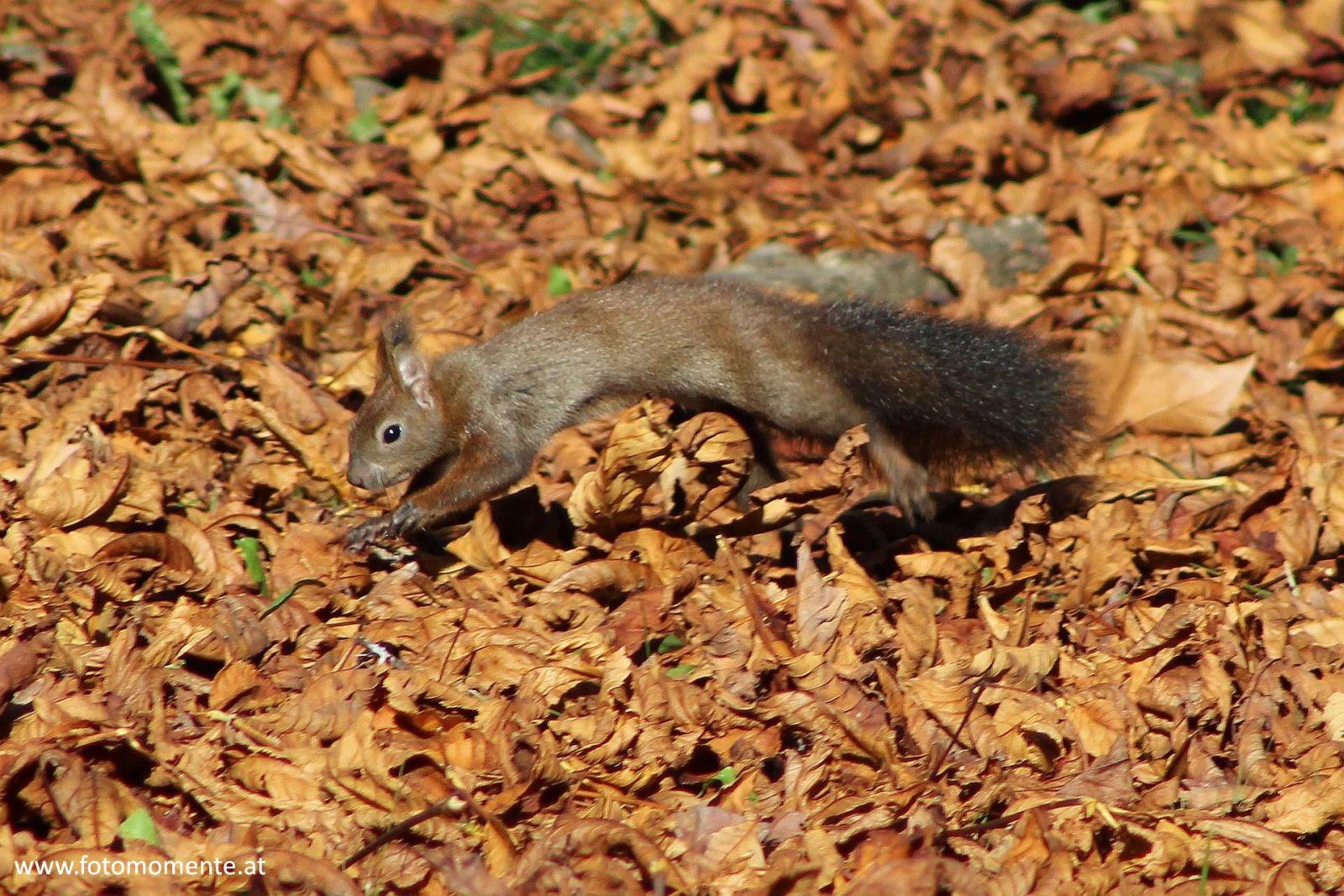 Eichhörnchen im Sprung am Laubboden