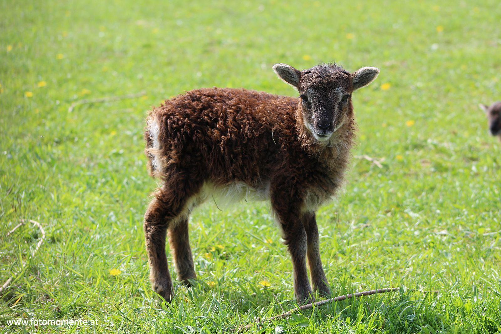 Braunes Lamm Jungschaf - Braunes Lamm, so süß und klein