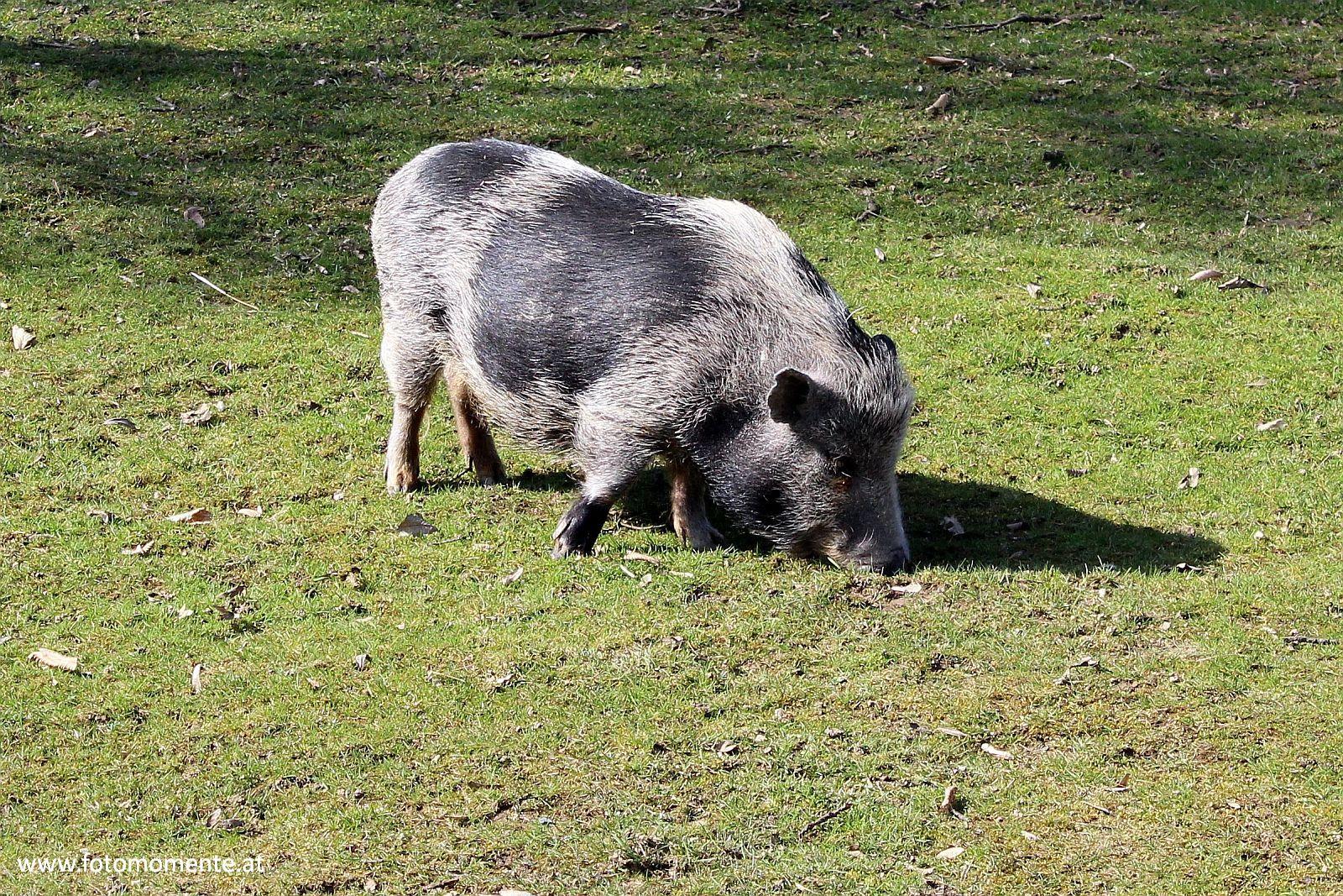 Minischwein - Ein grauschwarzes Schweinchen im Streichelzoo in Herberstein