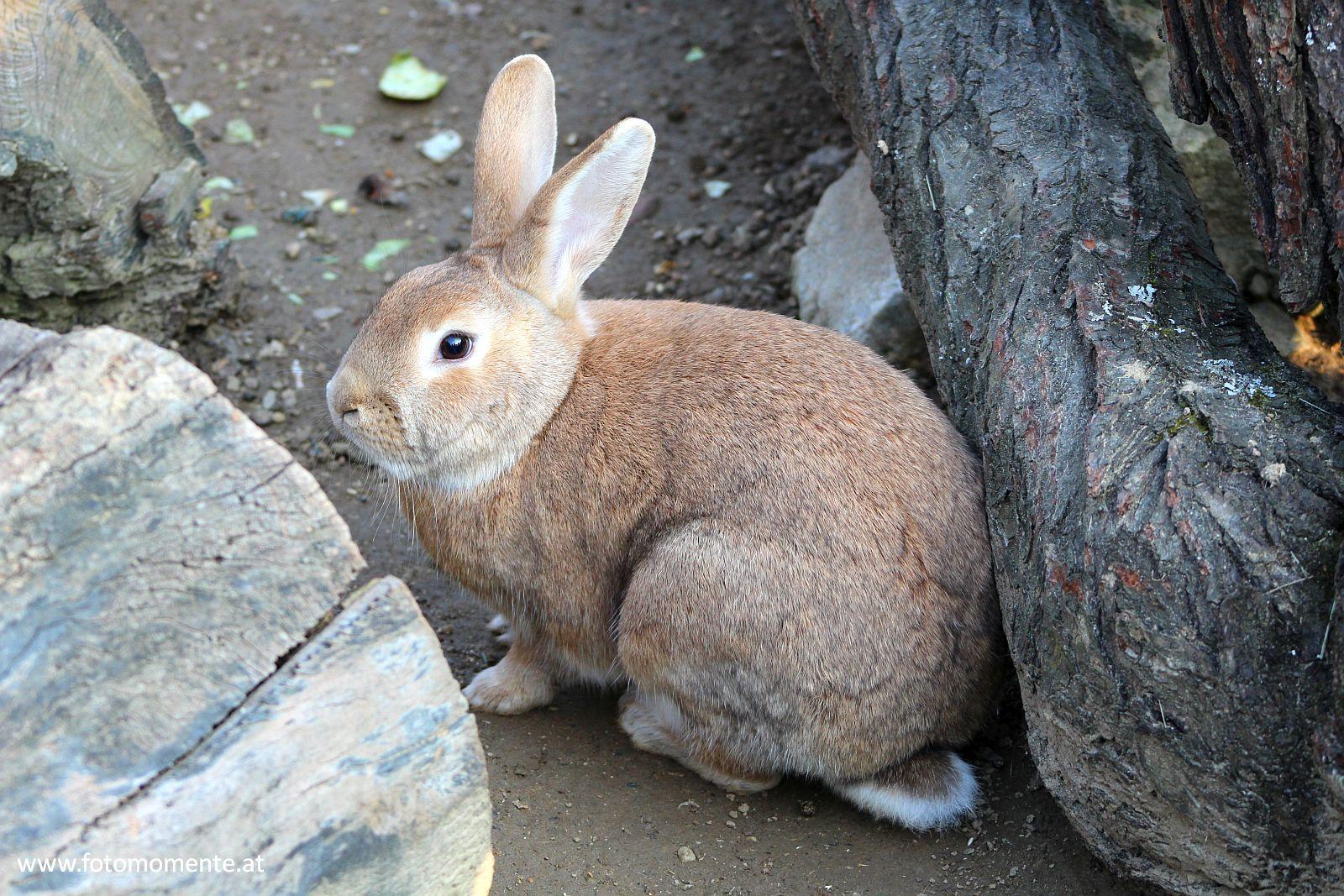 braunes kaninchen - Braunes Kaninchen