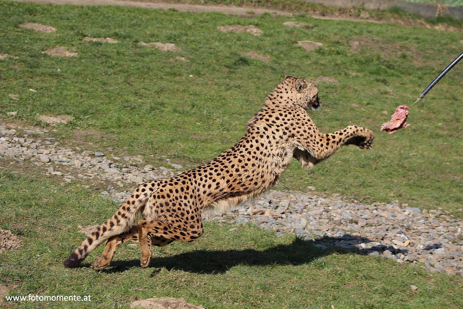 gepard beute jagen - Gepard beim Jagen seiner Beute