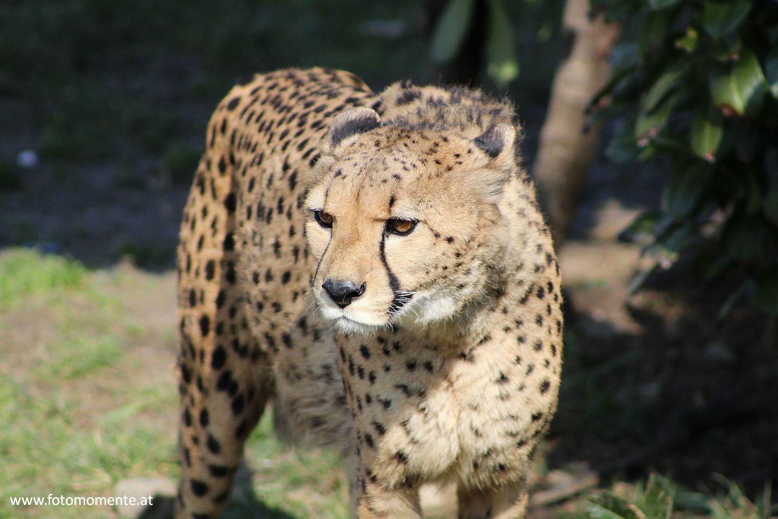 gepard - Gepard im Tierpark Herberstein