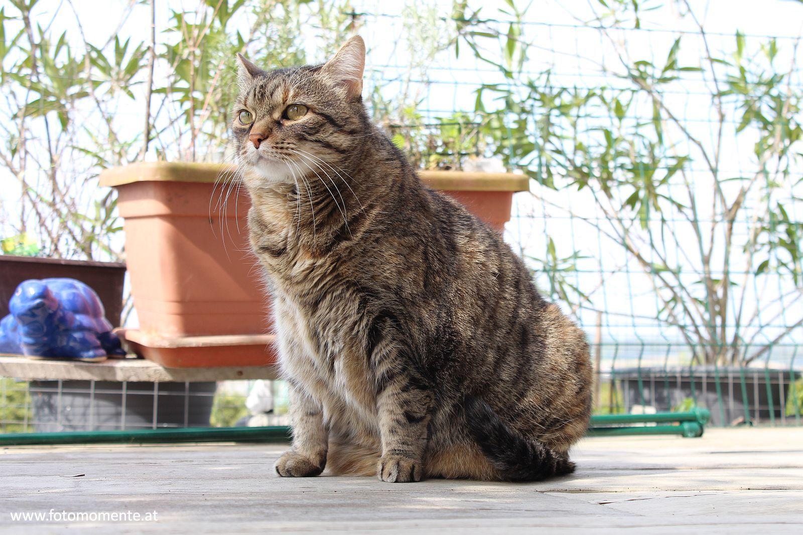 getigerte hauskatze - Getigerte Hauskatze auf der Terrasse