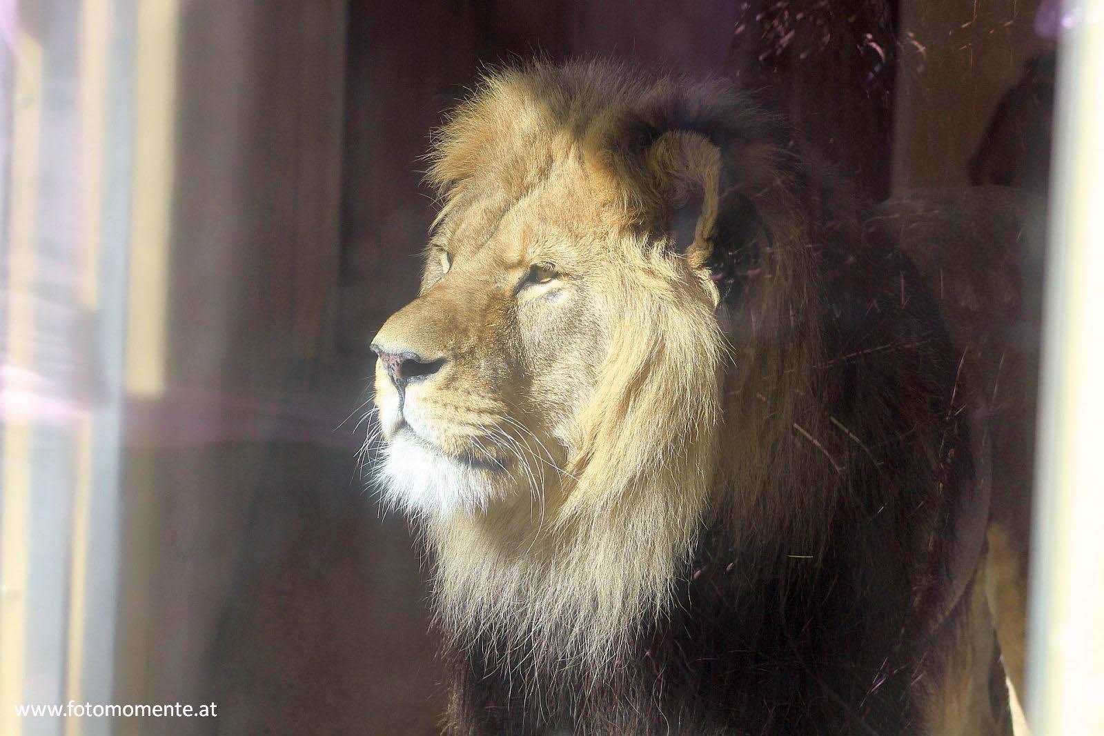 löwe hinter glas - Afrikanischer Löwe in der Tierwelt Herberstein - hinter Glas