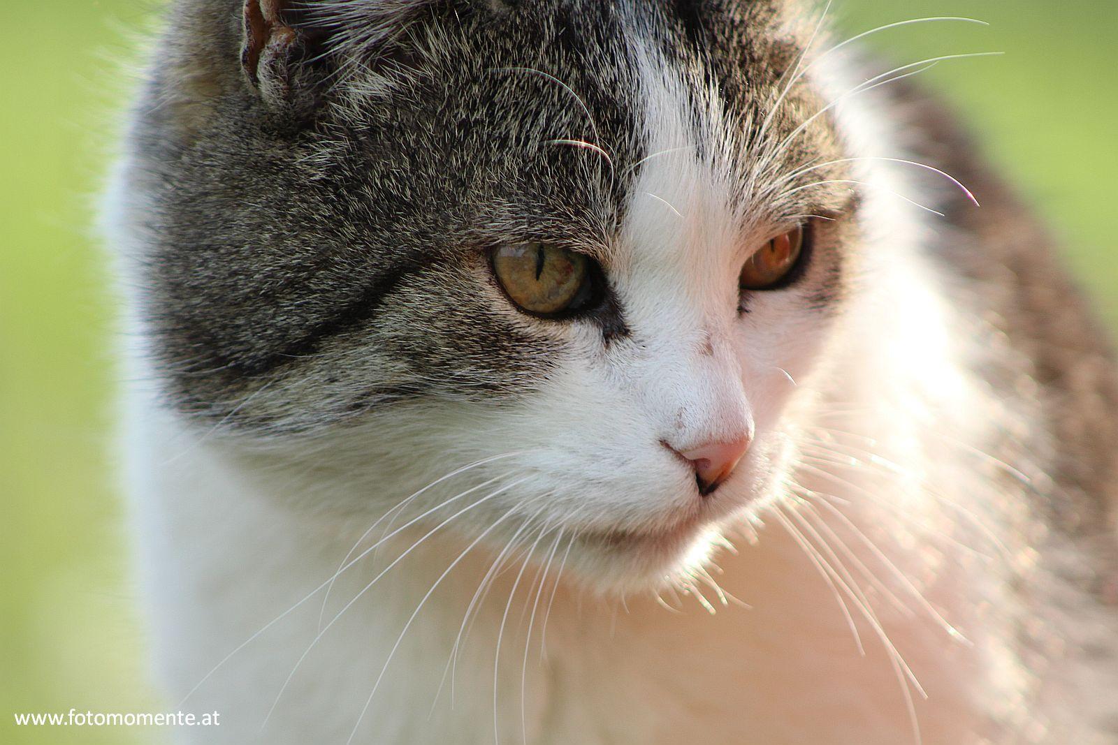suesse grau weisse hauskatze großaufnahme - Süße grau-weiße Hauskatze in Großaufnahme