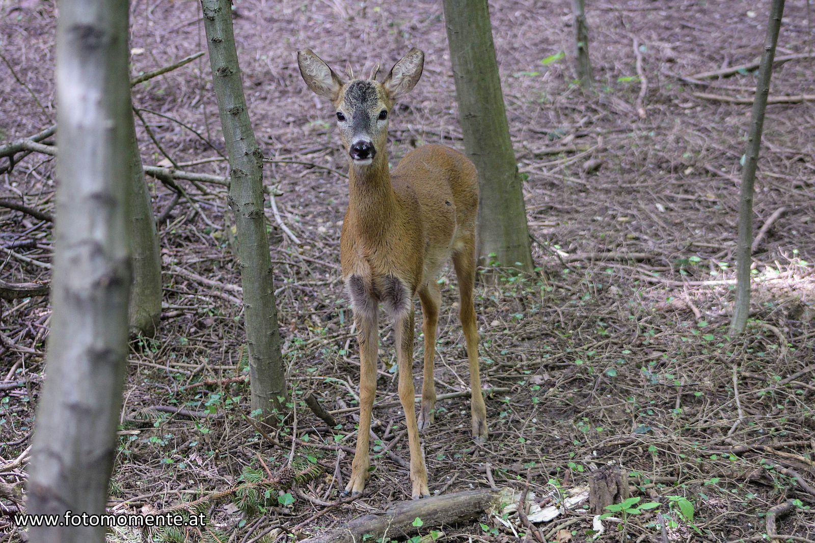 Rehbock - Junger Rehbock im Wald