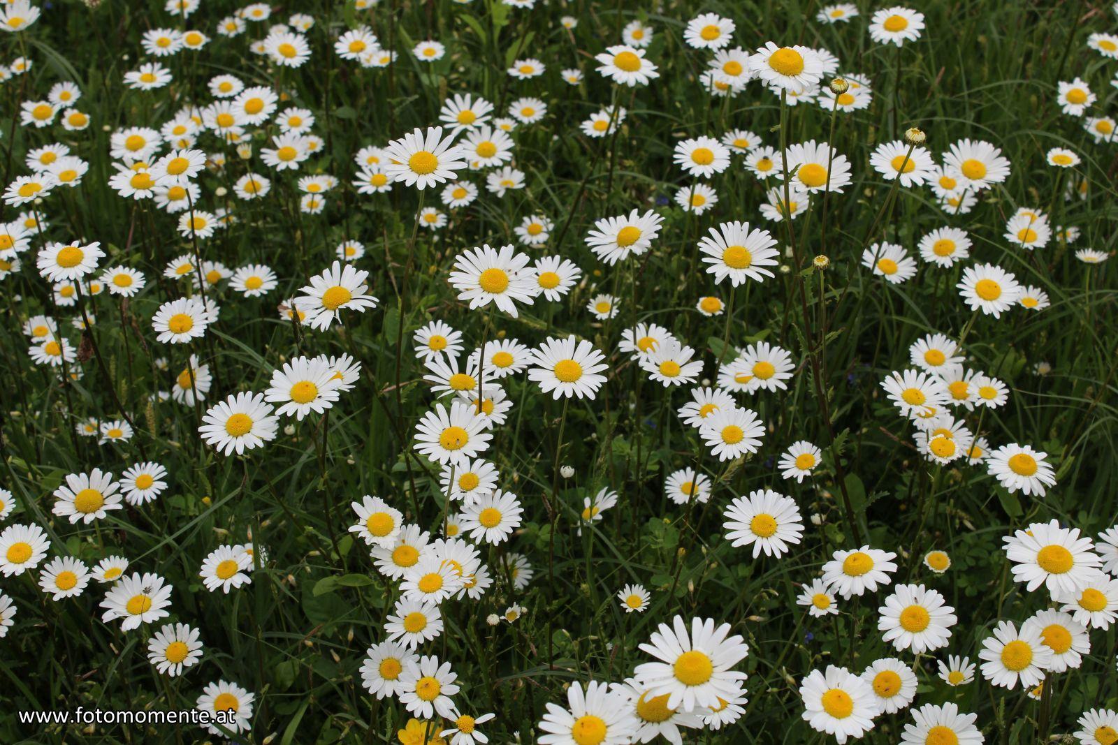 gaensebluemchen - Margeritenwiese