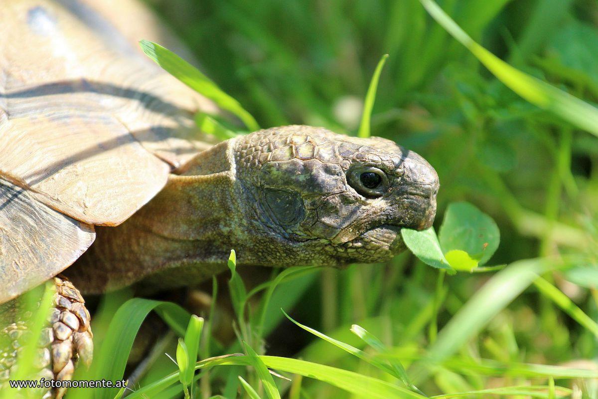 Griechische-Landschildkröte