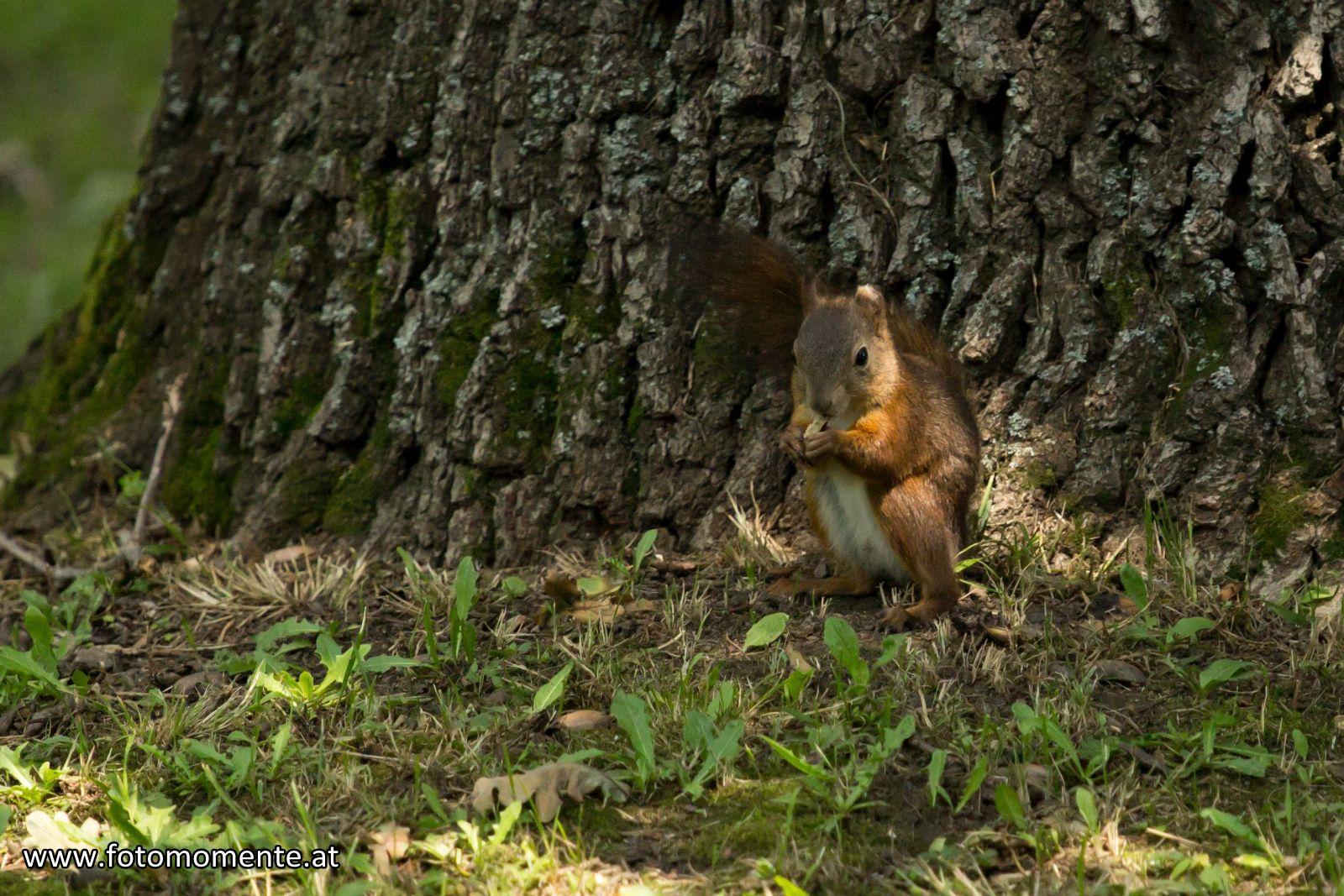 eichhörnchen mit nuss stadtpark graz - Eichhörnchen mit einer Nuss - Stadtpark Graz