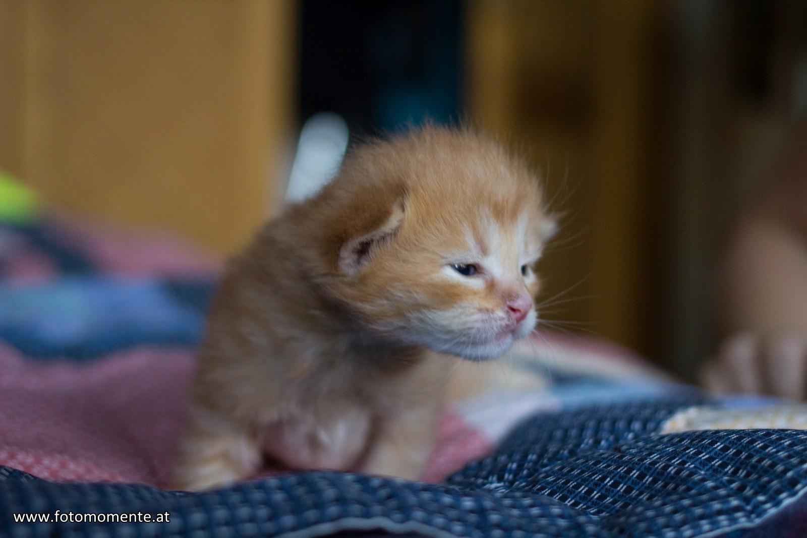 süßes braunes katzenbabys drei wochen alt 1 - Drei herzige Katzenbabys :)