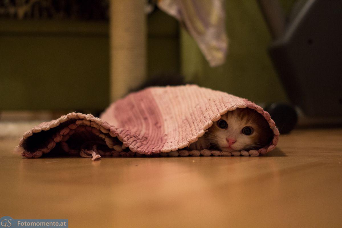 23_Katzen_Leo_verstecken_teppich