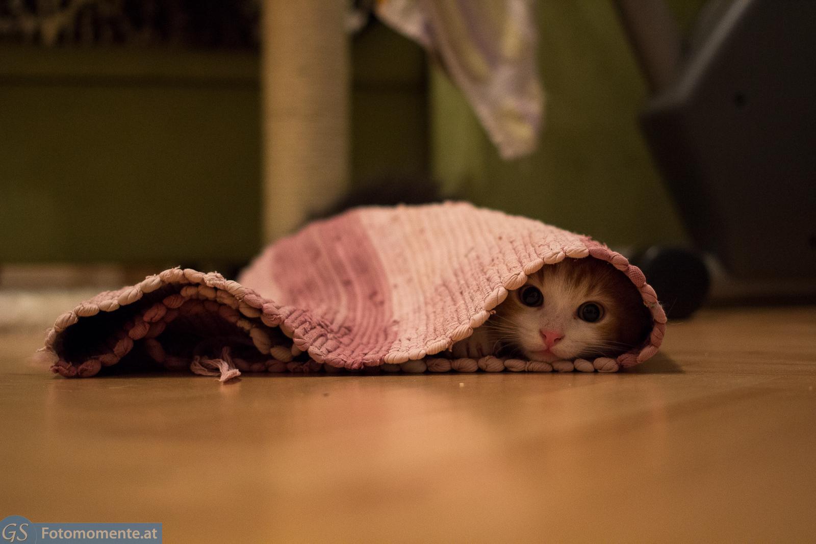 23 Katzen Leo verstecken teppich - Katze Bounty und Kater Leo 10 - 12 Wochen alt - Teil 3