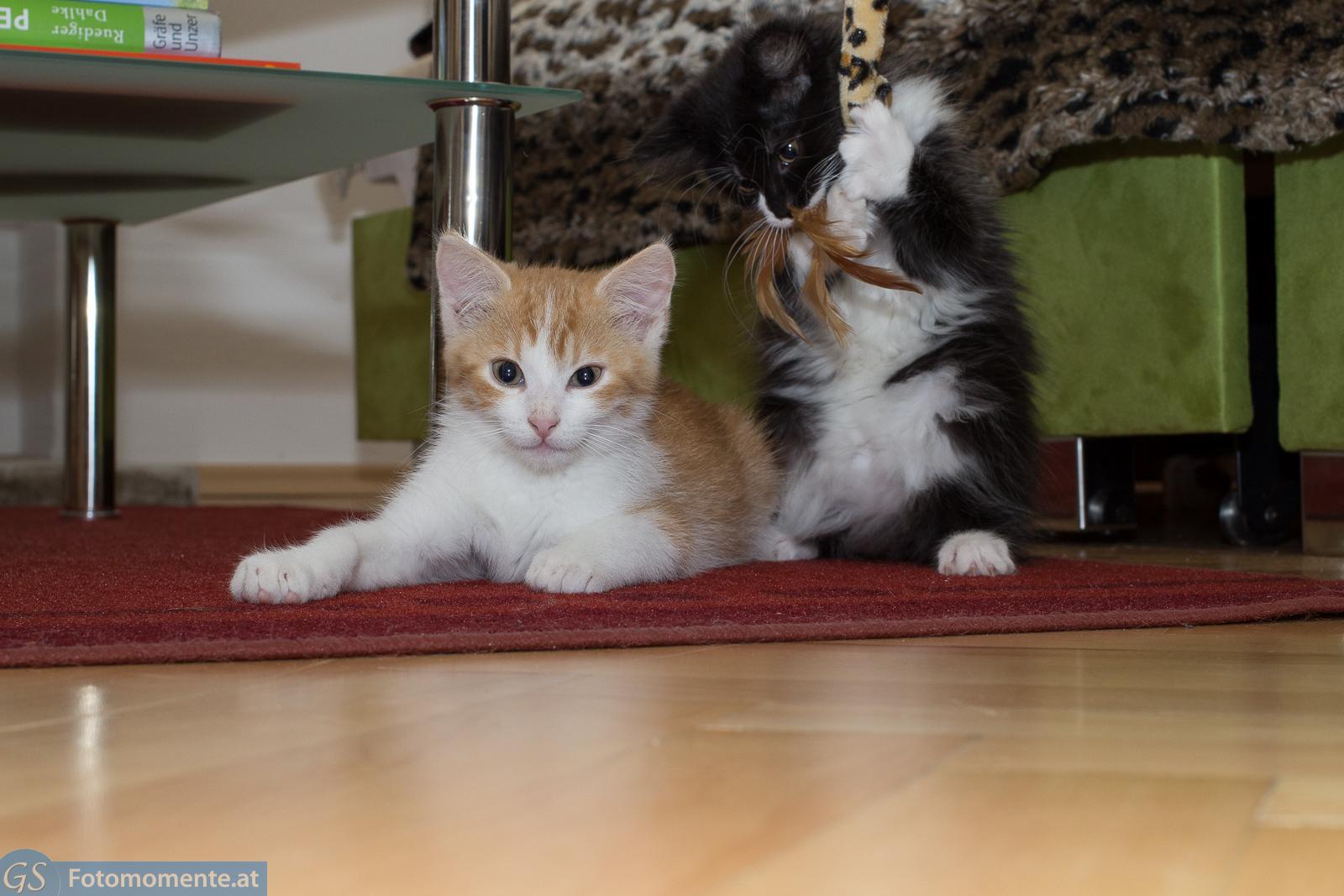 Katze Bounty und Kater Leo 10  12 Wochen alt  Teil