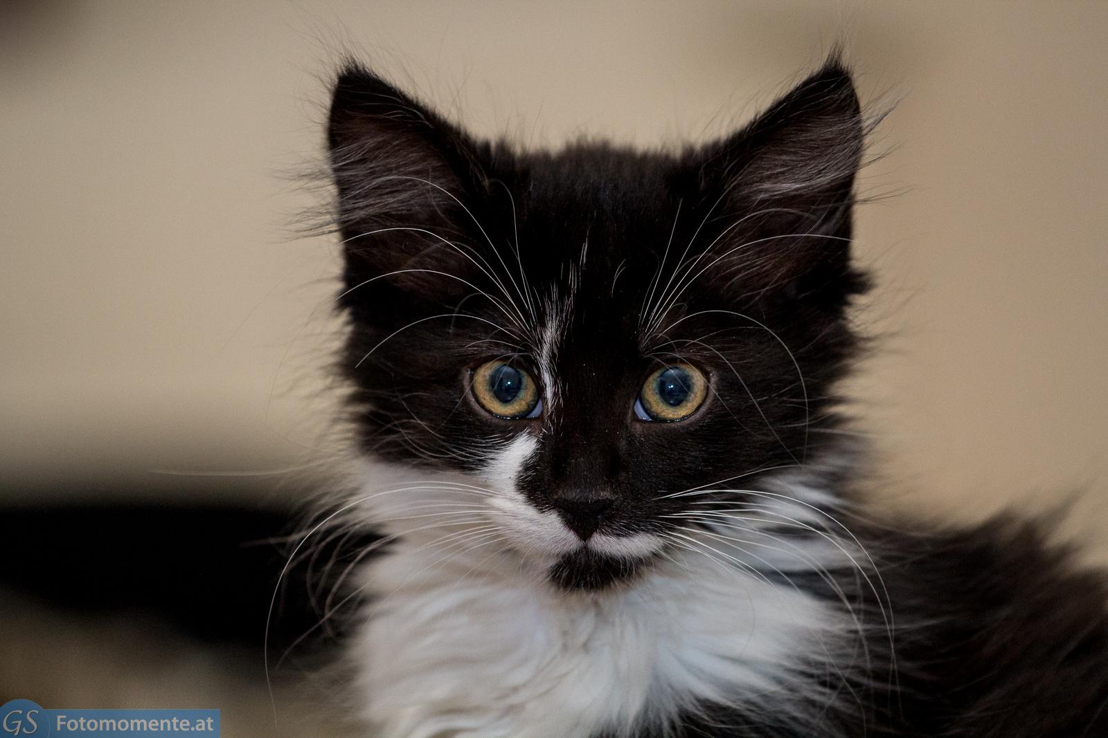 28 Katzen Bounty großaufnahme - Katze Bounty und Kater Leo 10 - 12 Wochen alt - Teil 1